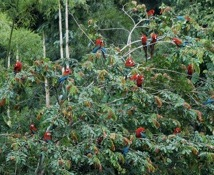 Red&GreenMacaws